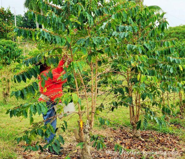 コーヒー農園 農園婦