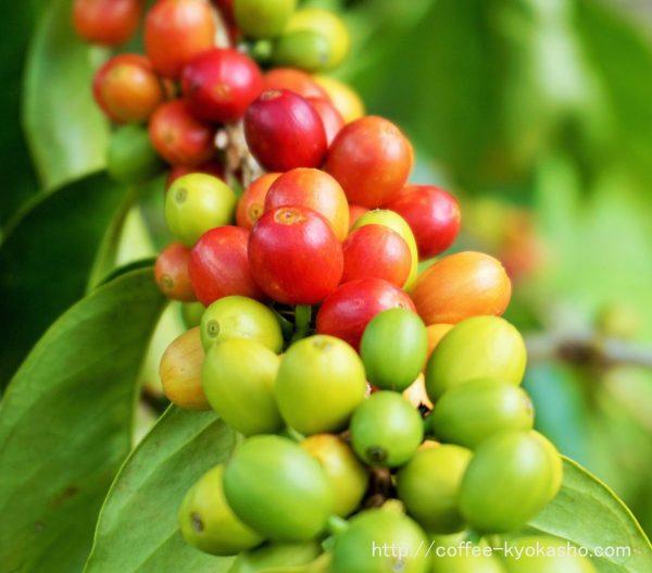 コーヒーの木 育てる 日本