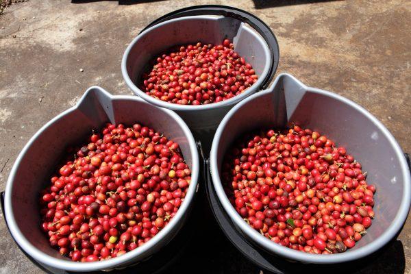 コーヒー農園 ベトナム