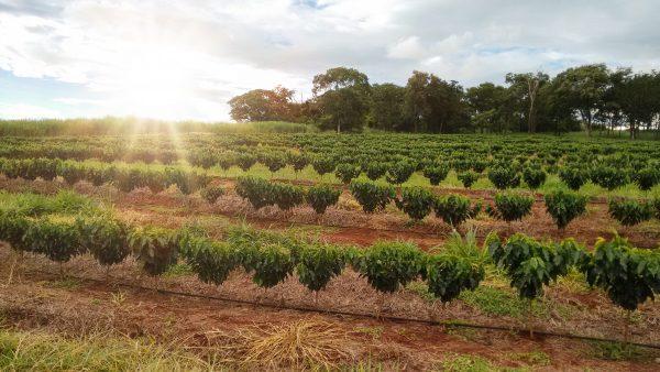 コーヒー農園 オプショナルツアー