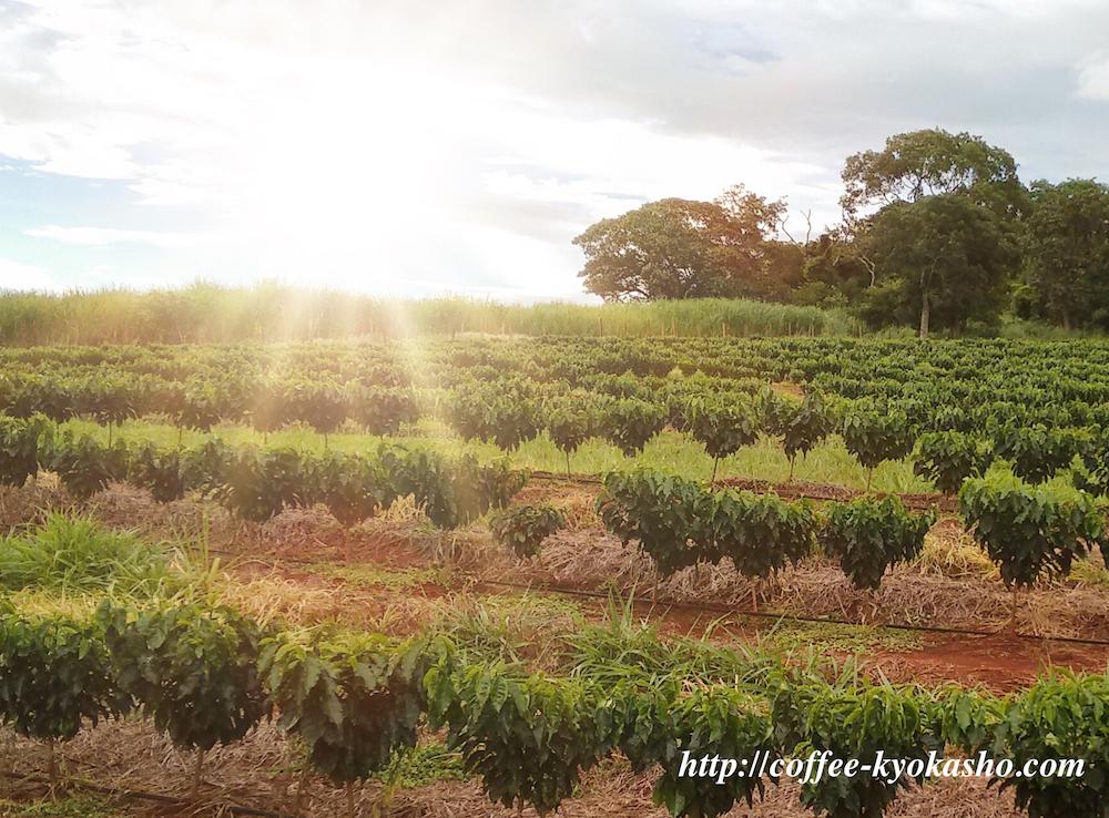 コピルアク|世界一高いコーヒーはジャコウネコのふんから採れる!?