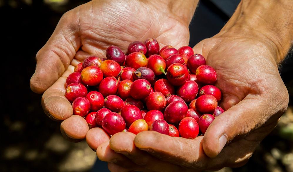 コロンビアで採れたコーヒーチェリー