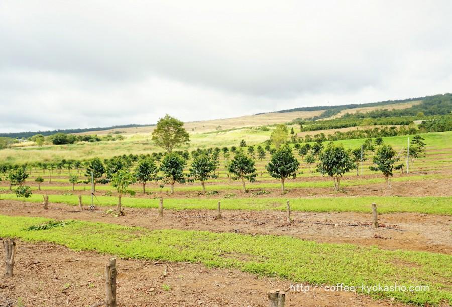 コーヒー農園 コーヒーの木